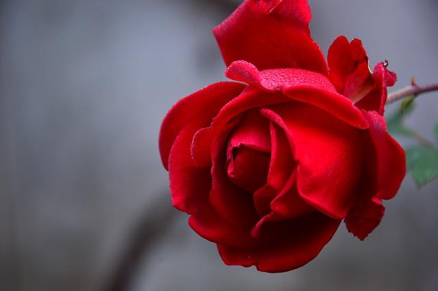 rose-3802424_640